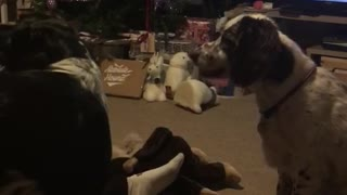 White dog hitting green tennis ball away with nose in living room christmas tree in background - Video