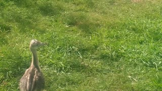 Rheas playing for the first time in the garden