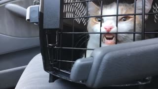 Kitty Wants to Get Out of Carrier