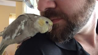 Baby cockatiel loves cuddling man's beard - Video