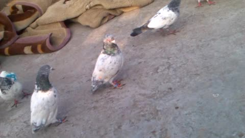 Pigeons who can not fly