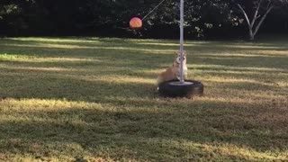 Dog playing tether ball