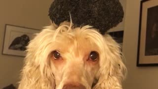 White dog balances and catches green toy on head on white bed - Video