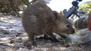 Meet the cutest animal in the world, the Quokka!