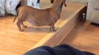 Big dog gets scared of little dog  - Video