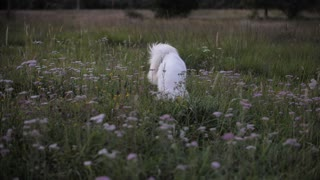 White Dog Playing in the Green nature
