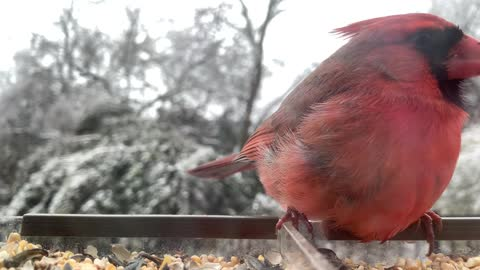 Beautiful video of two cardinals eating at feeder during snow fall