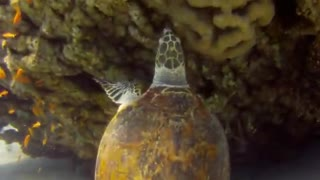 Giant Green Sea Turtles in the Red Sea, eilat israel - Video