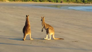 Two Kangaroos Have A Boxing Match On The Beach - Video