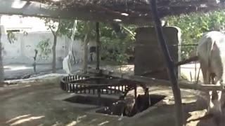 Local Village life,,,<<very old water system with bull
