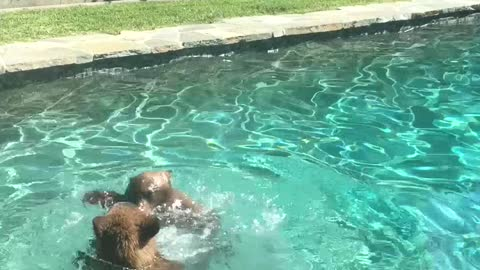 Bear and Cubs Swim in Backyard Pool
