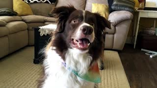 Border Collie's amazing dance moves to drum music