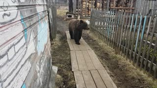 Bear Strolls Through Backyard