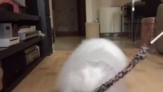 This Has Got To Be The Fluffiest Cat I've Ever Seen ! - Video