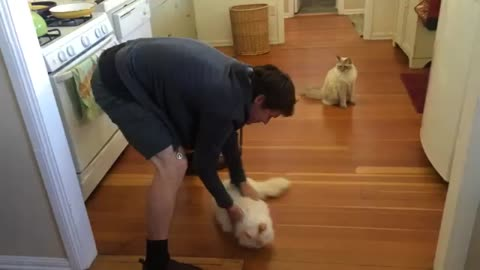 Richard The Ragdoll Cat Loves Sliding On The Floor