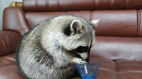 Raccoon gives the bowl to his sister with both hands, and she gives it back to her.