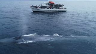 Drone Shows That Blue Whale Is Larger Than An 87ft Boat