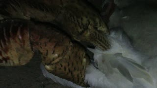 Coconut Crab Attacks Bird - Video