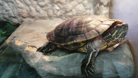 A beautiful turtle is on dry land.