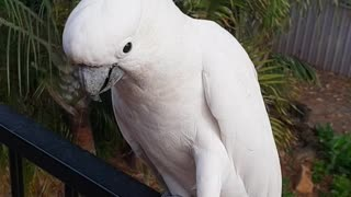 How to tame a totally wild cockatoo