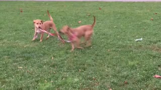 Puppy Decides To Walk The New Puppy On A Leash - Video