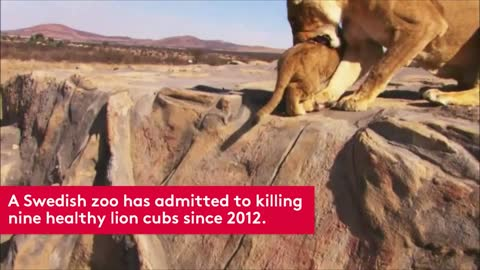 Swedish Zoo Admits to Killing 9 Healthy Lion Cubs
