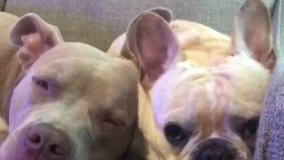 Sleepy pitbull and frenchie - Video
