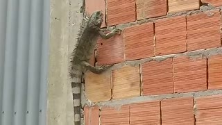 An iguana appears close of my house
