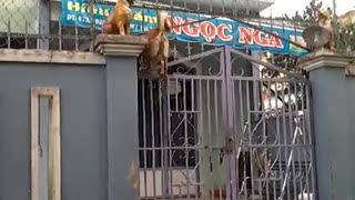 Dog Climbing a Gate - Video