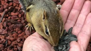 Hand-Feeding an Adorable Chipmunk