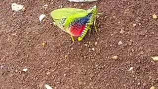 A Green Rainbow Grashopper - Nature Lovers - Video