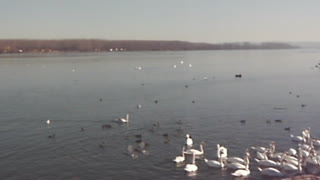 Feeding swans - Video