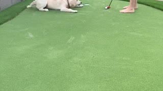 Molly the Golden Wants to Play Golf with Dad!