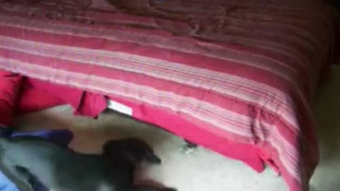 Black Labrador Hides Under The Bed When It's Bathing Time