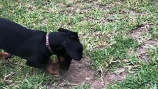 Dogy Looking For Something In the Ground