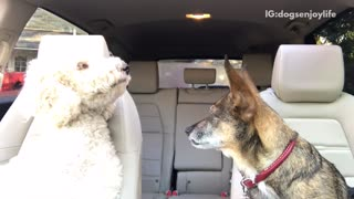 Music brown and white dog listen to all you need is love in car - Video