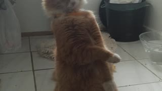 Leon the standing cat - Video