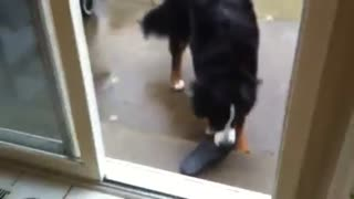 Clever dog reveals where he hid slipper