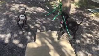 dogs playing with toy  - Video