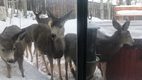Deer Take Over the Bird feeder in the Back Yard