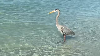 This great blue heron is scanning the water for a fresh meal