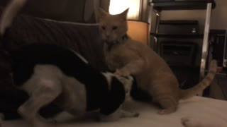 Orange cat and black and white dog play fight on bed