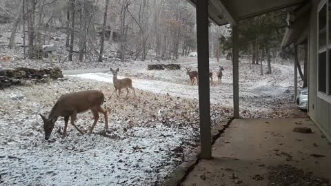 Hungry Deer on a Snowy Day - Part 2