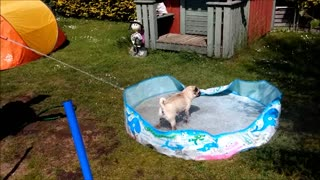 Pug goes crazy playing with water for first time - Video