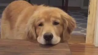 Lazy dog resting head on table - Video