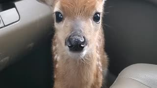 Fawn Bleats After Being Rescued