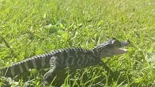 this little crocodile loves to caress - Video