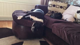 Dreaming dog falls off couch, wakes up cat - Video