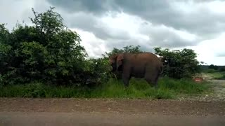 Young elephant bull at Kruger National Park