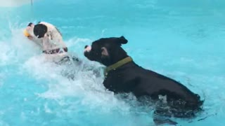 Boxer puppies new swimming technique - Video
